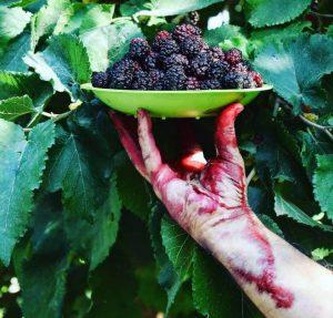 شاه توت خواص درمانی شاه توت blackberry